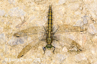 Black Tailed Skimmer at Staveley Nature Reserve