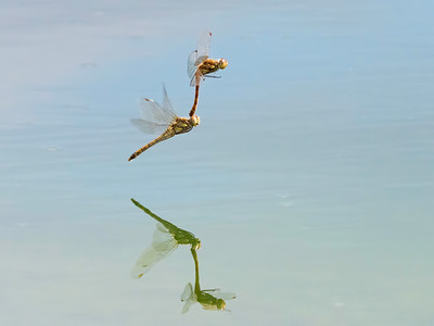 Common Darters on a Cruise