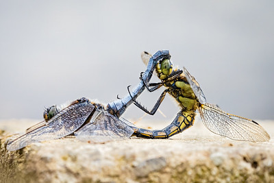 Black Tailed Skimmers in Love