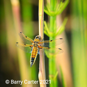 Four Spotted Chaser High Batts Nature Reserve