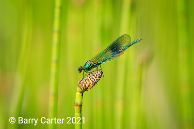 Banded Demoiselle on Horsetail