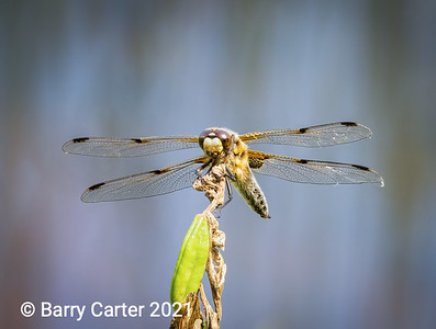 Four Spotted Chaser Resting