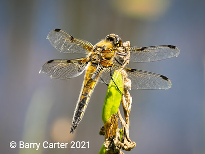 4 Spotted Chaser North Yorkshire