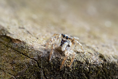 Jumping Spider in my Raised Bed