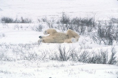 polar bear feet