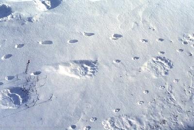 bear, fox and bird prints in the snow