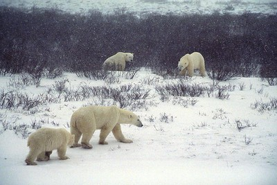 polar bears in the willows