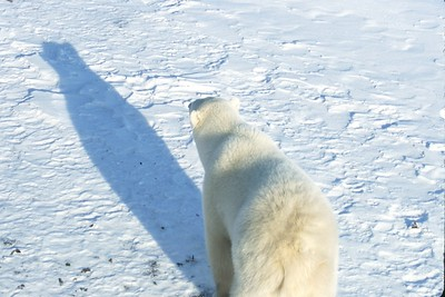 polar bear looking at his shadow