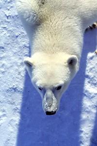 polar bear in shadow