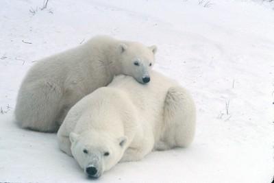 Baby bear sleeping with Mother bear