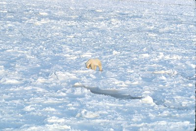 polar bear heading for the ice