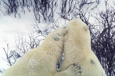polar bear friends