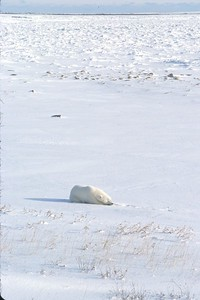 polar bear alone on the tundra
