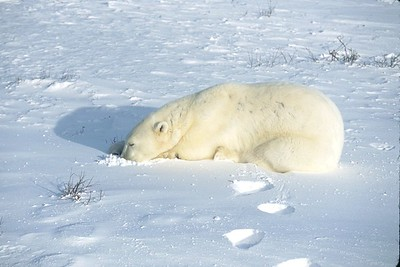 polar bear sleeping, polar bear sunning,