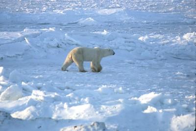 polar bear on ice and snow