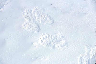 polar bear paw prints