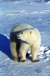 polar bear on patrol