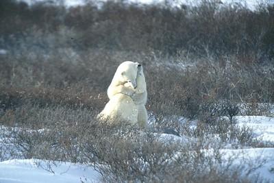 polar bears cuddling in the willows