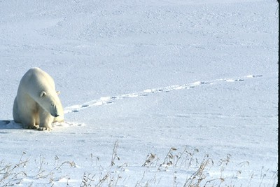 polar bear on the march