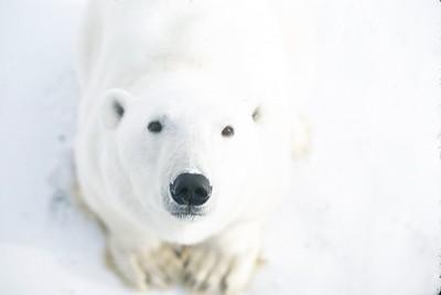 polar bear eyes and nose