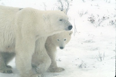 Mother and baby bear in snowstorm