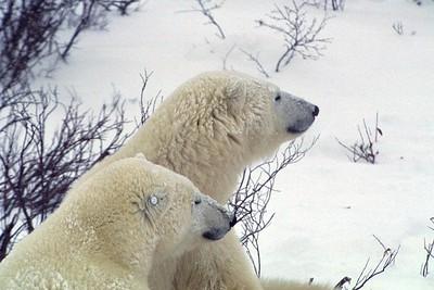 polar bear profiles