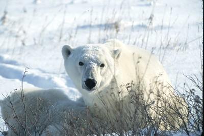 polar bear with snow on face