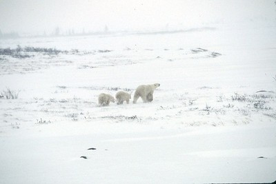 Mother and baby bears walking away on tundra