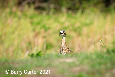 A Wary Bush Stone Curlew Queensland
