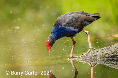 Purple Swamphen Dundas St West