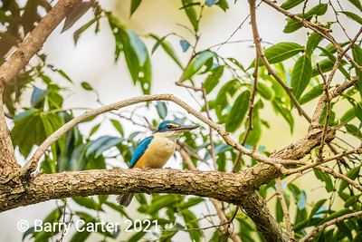 Sacred Kingfisher Hilliards Creek