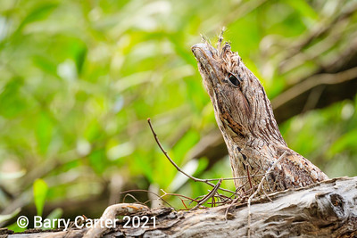 Marbled Frogmouth Shute Harbour