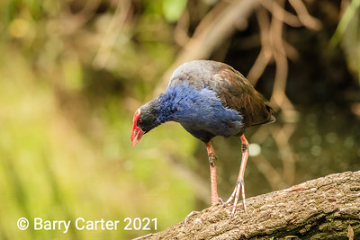 Purple Swamphen Hilliards Creek