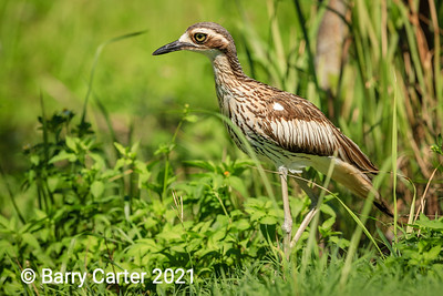 Stone Curlew on Guard Queensland
