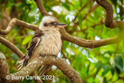 Kookaburra Portrait Hilliards Creek