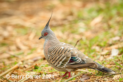 Crested Pigeon at Wellington Point