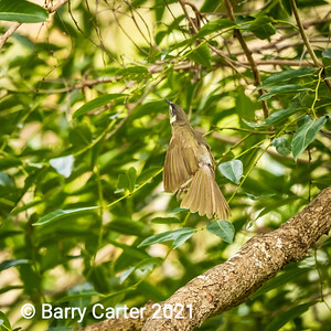 Lewins Honeyeater in Flight