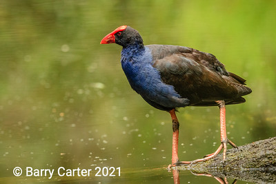 Purple Swamphen on the Creek