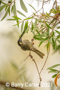 Lewins Honeyeater Hilliards Creek