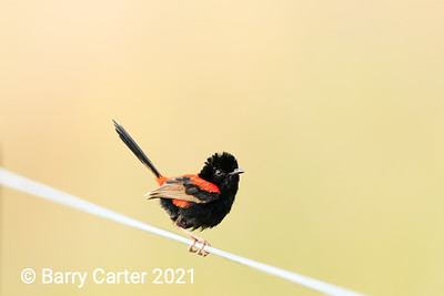 Red Backed Fairy Wren Oxley Creek Common