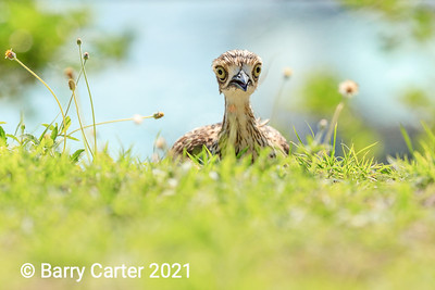 Bush Stone Curlew Playing Hide and Seek