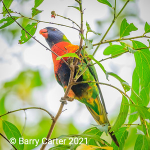 Rainbow Lorikeet Wellington Point