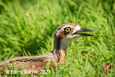 Stone Curlew Whitsunday Islands