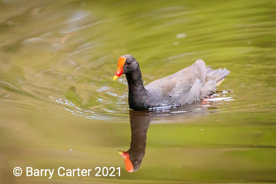 Dusky Moorhen at Hilliards Creek