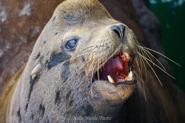 Sea Lion showing teeth in CA
