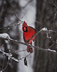 Jester Park Cardinal