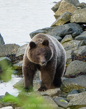 Young Grizzly in Haines, Alaska