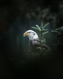 Balk Eagle at Andrew's Lake