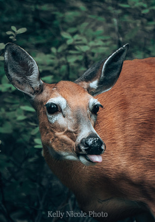 Deer sticking out her Tongue