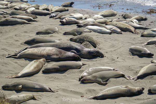 Group of Elephant Seals, California